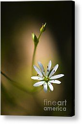 Chick Weed Canvas Prints - Chickweed Blossom and Bud Canvas Print by Marty Saccone