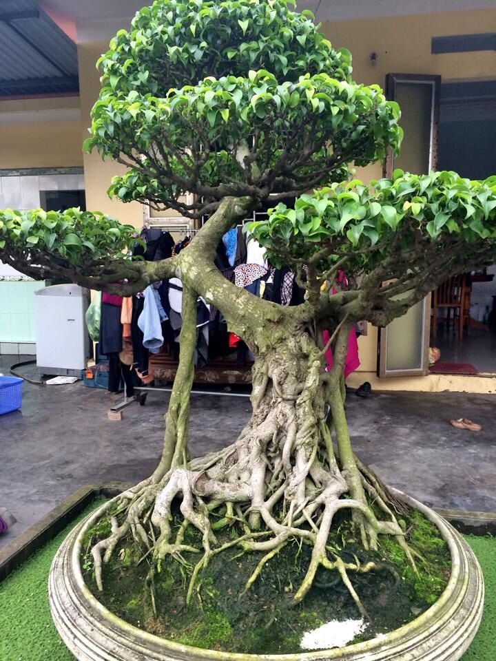 i so want to put a fairy tree house in this bonsai bonsai bonsai baum bonsai und baum. Black Bedroom Furniture Sets. Home Design Ideas
