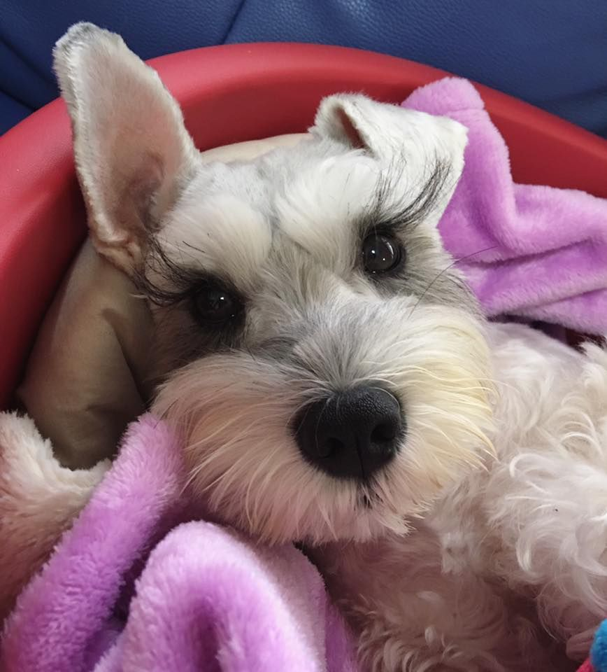 Maddie S Fund The Pet Rescue Foundation Is Helping To Create A No Kill Nation Where All Healthy And Treatable Shelter Dogs An Schnauzer Adoption Day Cat Life