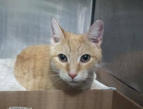 Killed at ACC- TO BE DESTROYED 8/25/14 ** Cream interacts with the observer, appreciates attention, is easy to handle and tolerates all petting. This cat is showing behavior appropriate for new or experienced cat parents. ** Manhattan Center My name is CREAM. My Animal ID # is A1010499. I am a female org tabby and white domestic sh mix. The shelter thinks I am about 2 YEARS OWNER SUR on 08/14/2014 from NY 10457, OWNER SICK.