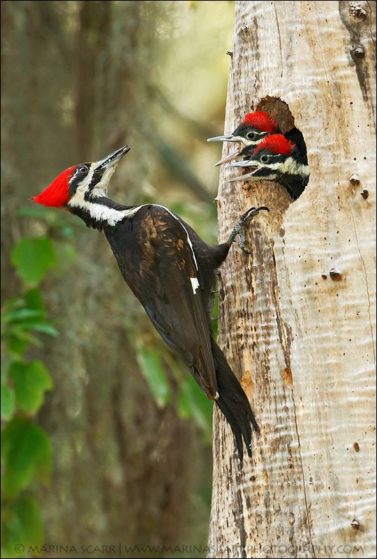 The Amazing Pileated Woodpecker Is A Huge North American