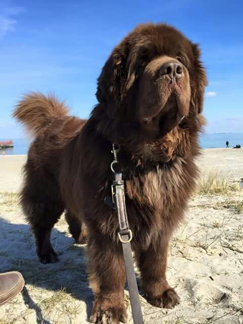 Brown Newfie   gorgeous