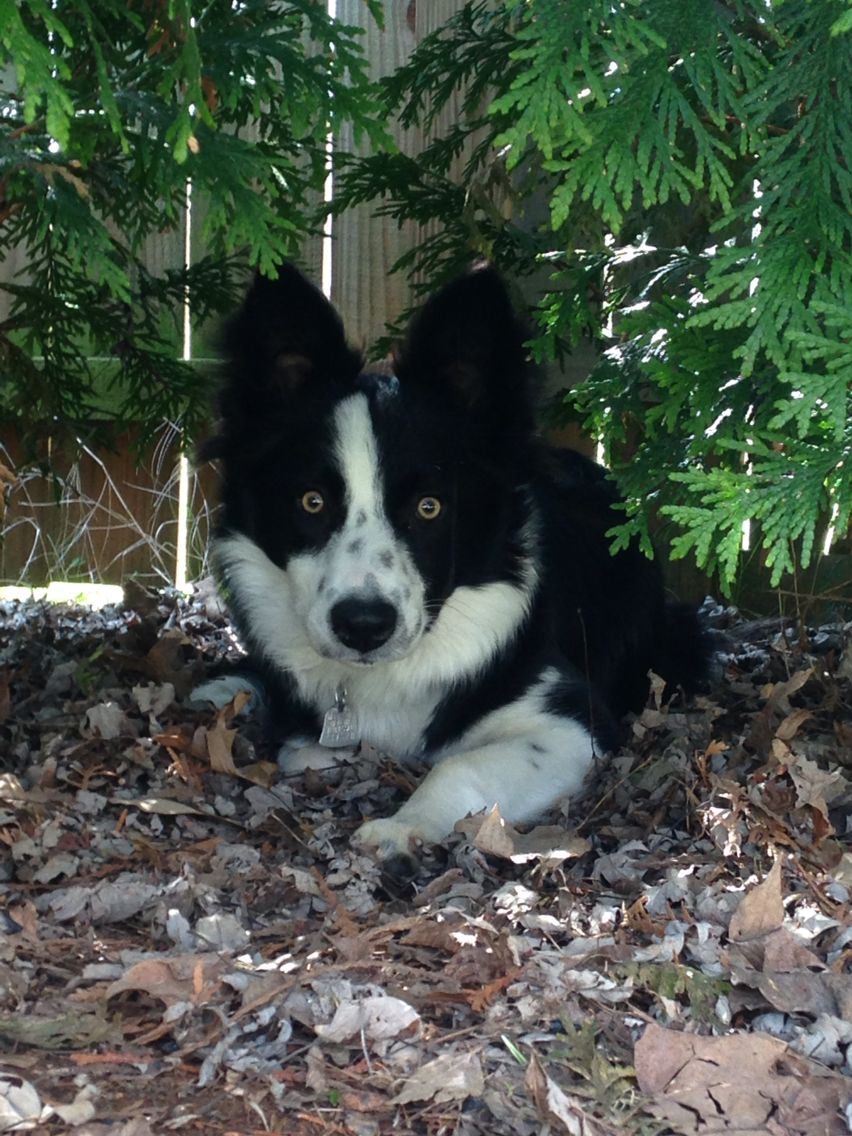Beautiful Border Collie Freckles With Images Cute Animals