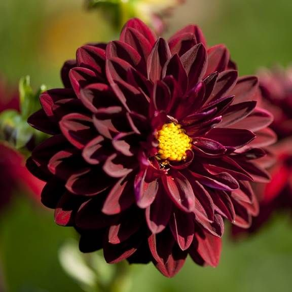 dahlia night life - rouge vif feuillage pourpre #fleurs #dahlia