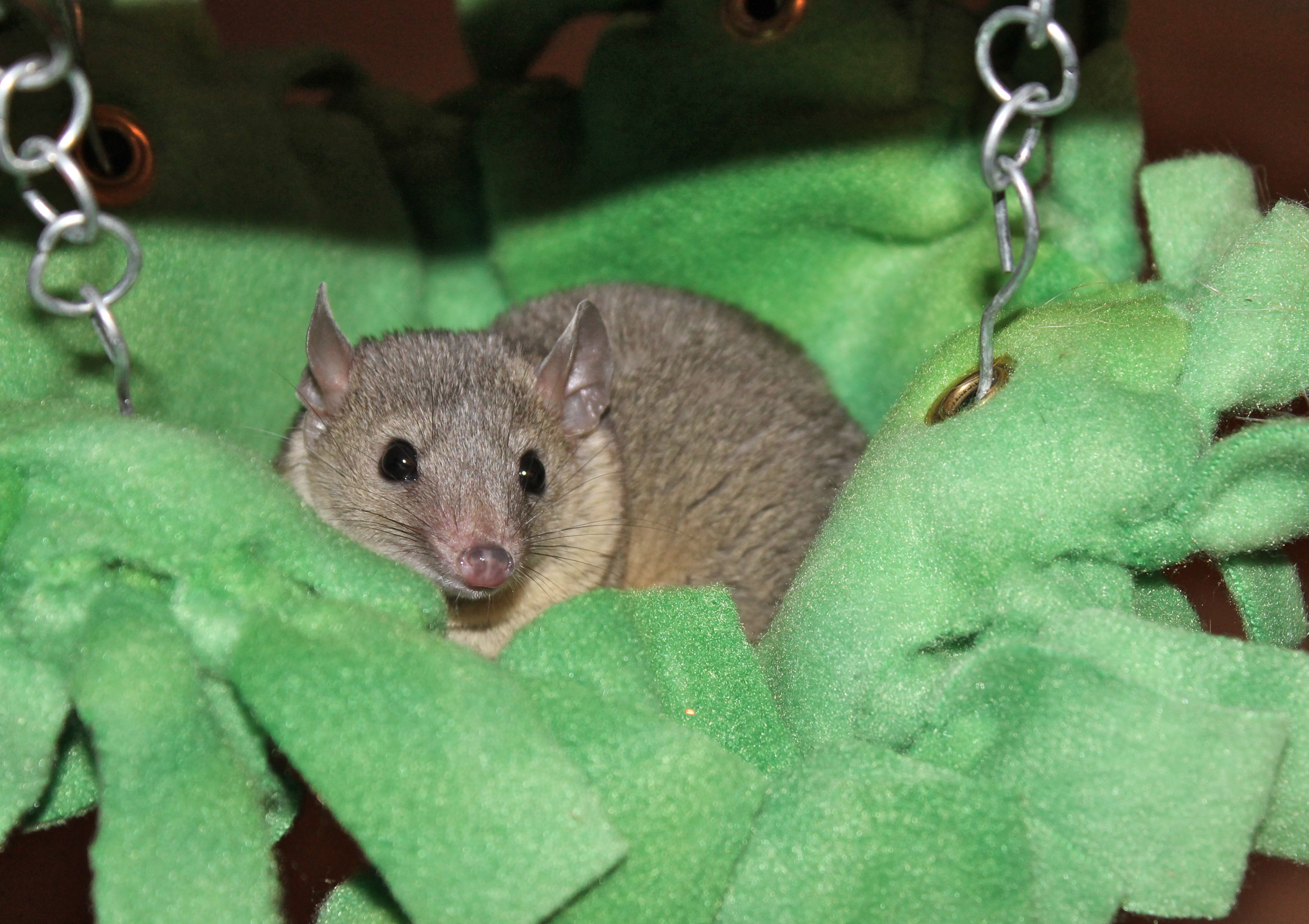 short tailed opossum  hammock by  http://kritterkreations.weebly.com/