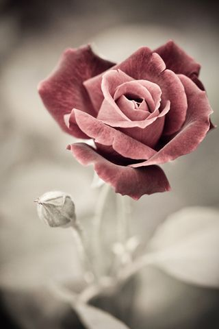 Pin By Amalie Mccarthy On Beautiful Picture Art Flower Background Iphone Beautiful Roses Rose Wallpaper