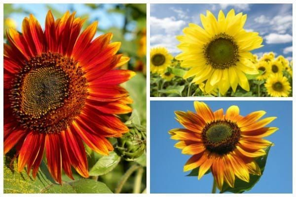 How to Grow Sunflowers and What to Avoid is part of Growing sunflowers, Winter vegetables gardening, Growing vegetables, Garden calendar, Strawbale gardening, Veggie garden - Ready to plant sunflowers  Find out the best time to sow the seeds, how much sun they need, right soil type, good and bad companion plants, plus care and harvest tips