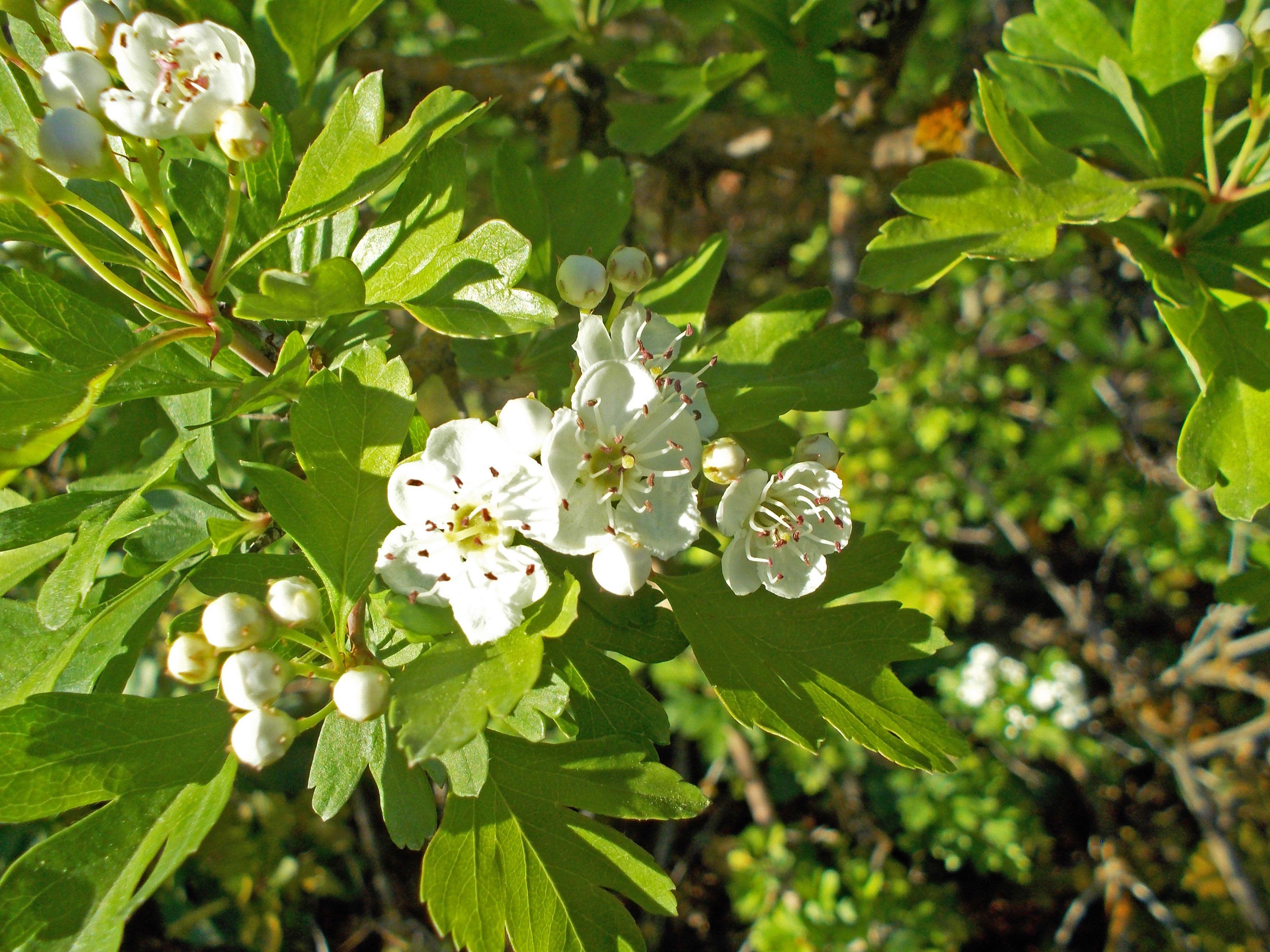 Eingriffeliger Weißdorn Hagedorn 150 Samen  Crataeugus Monogyna