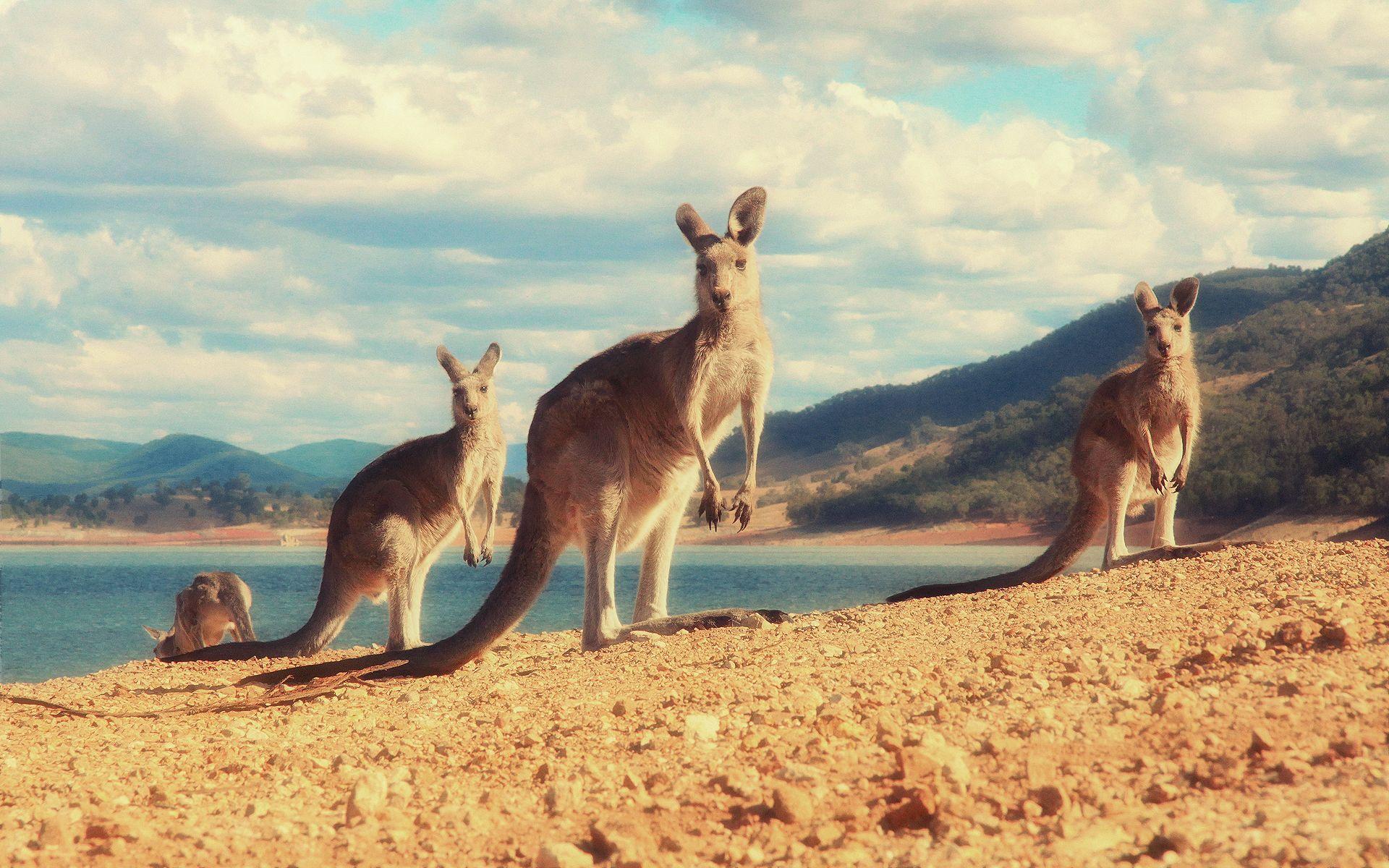 gambar kangguru wallpaper hd dari Berbagai Gambar Kanguru Lengkap di 2021    Kanguru, Gambar, Hewan