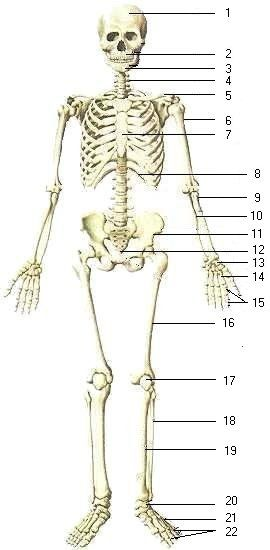 skeletal system quiz | Biology : Skeletal System & Bones of Human ...
