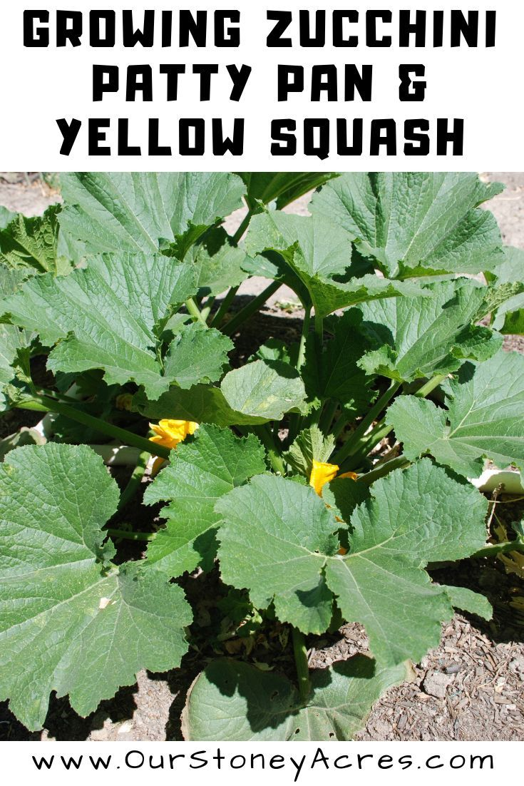 Growing Guide Growing Summer Squash Easy Vegetables To 640 x 480