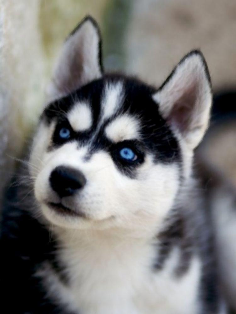 Siberian Husky- those eyes are amazing!!