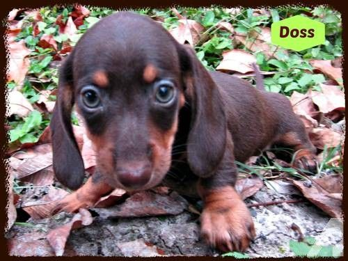 Akc Mini Dachshund Puppies For Sale In Loranger Louisiana