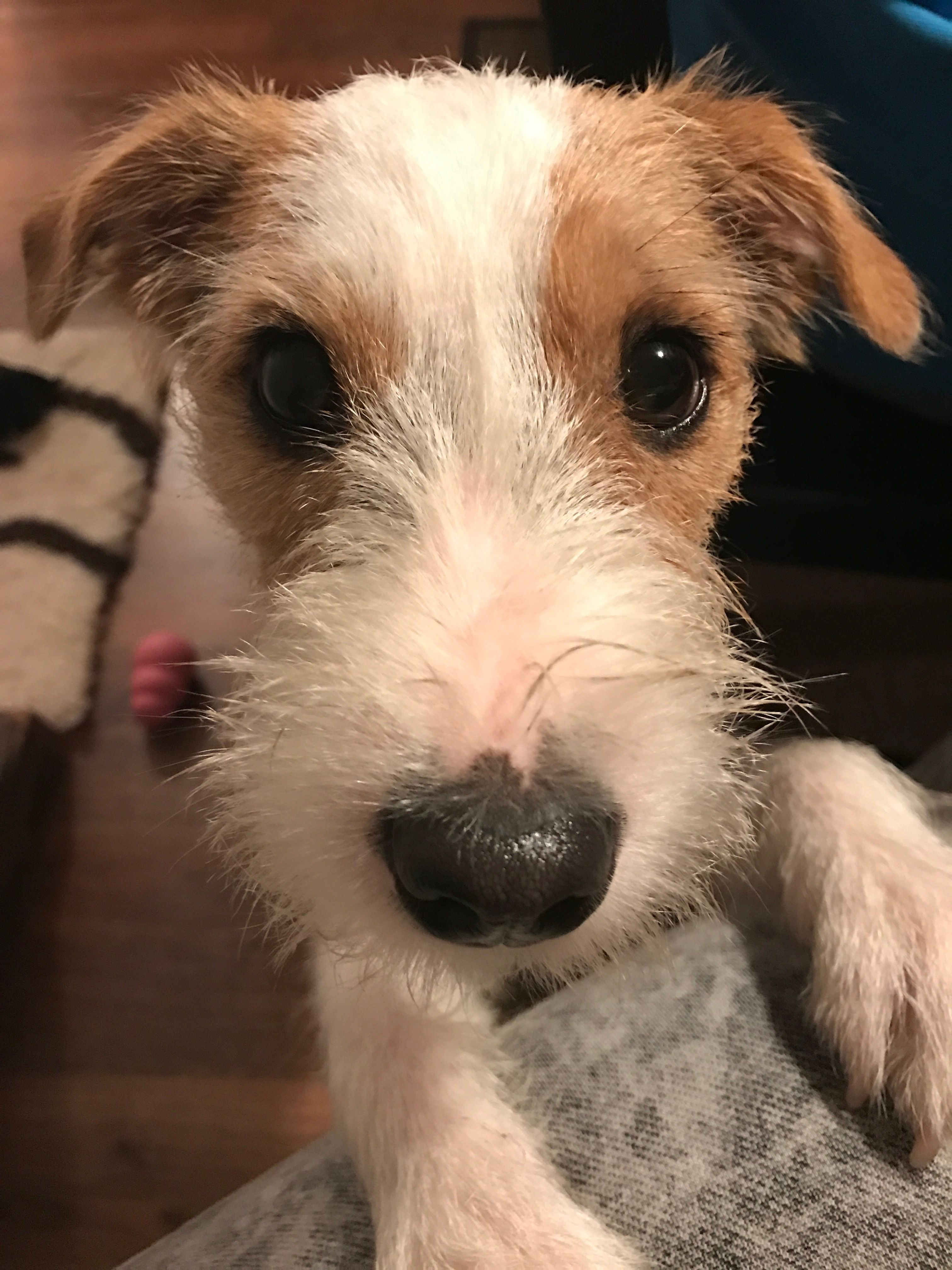 Well, hello there! Jack russell, Jack russell terrier