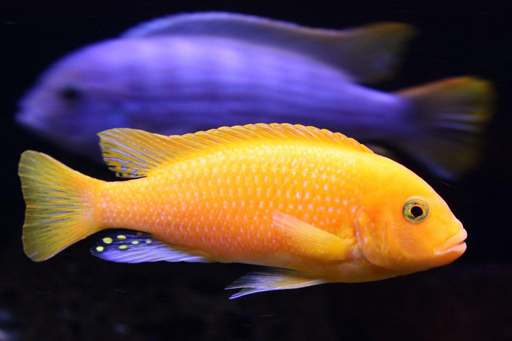 Red zebra cichlid metriaclima estherae by calwhiz for African cichlid fish