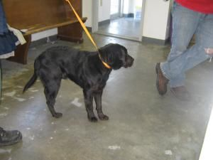 Bandit Is An Adoptable Labrador Retriever Dog In Summersville Wv