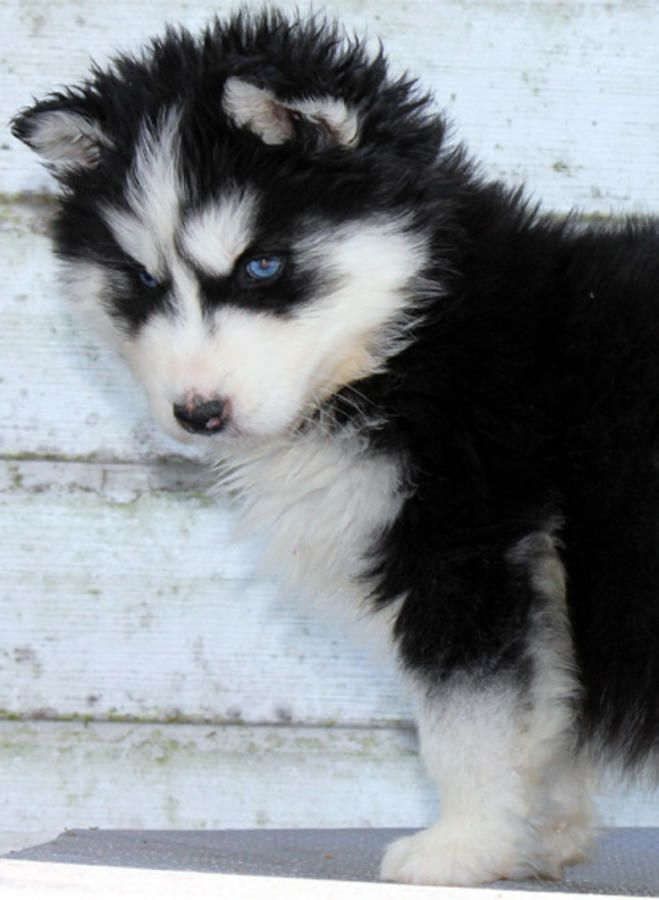 Cutest Pomsky Puppy Ever Thinking About Attempting This Breed