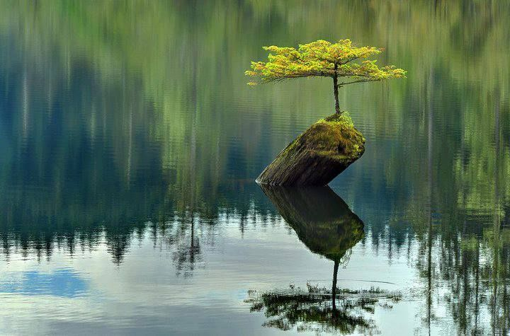 A small fir tree (which has become a bonsai) growing at top of a dead log in the waters of Fairy Lake, Canada