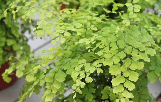 Capelvenere piante da appartamento perfette anche in bagno