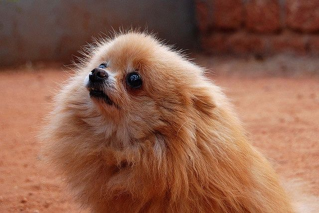 Pomeranian with baby seal eyes   This face! Description from pinterest.com. I searched for this on bing.com/images