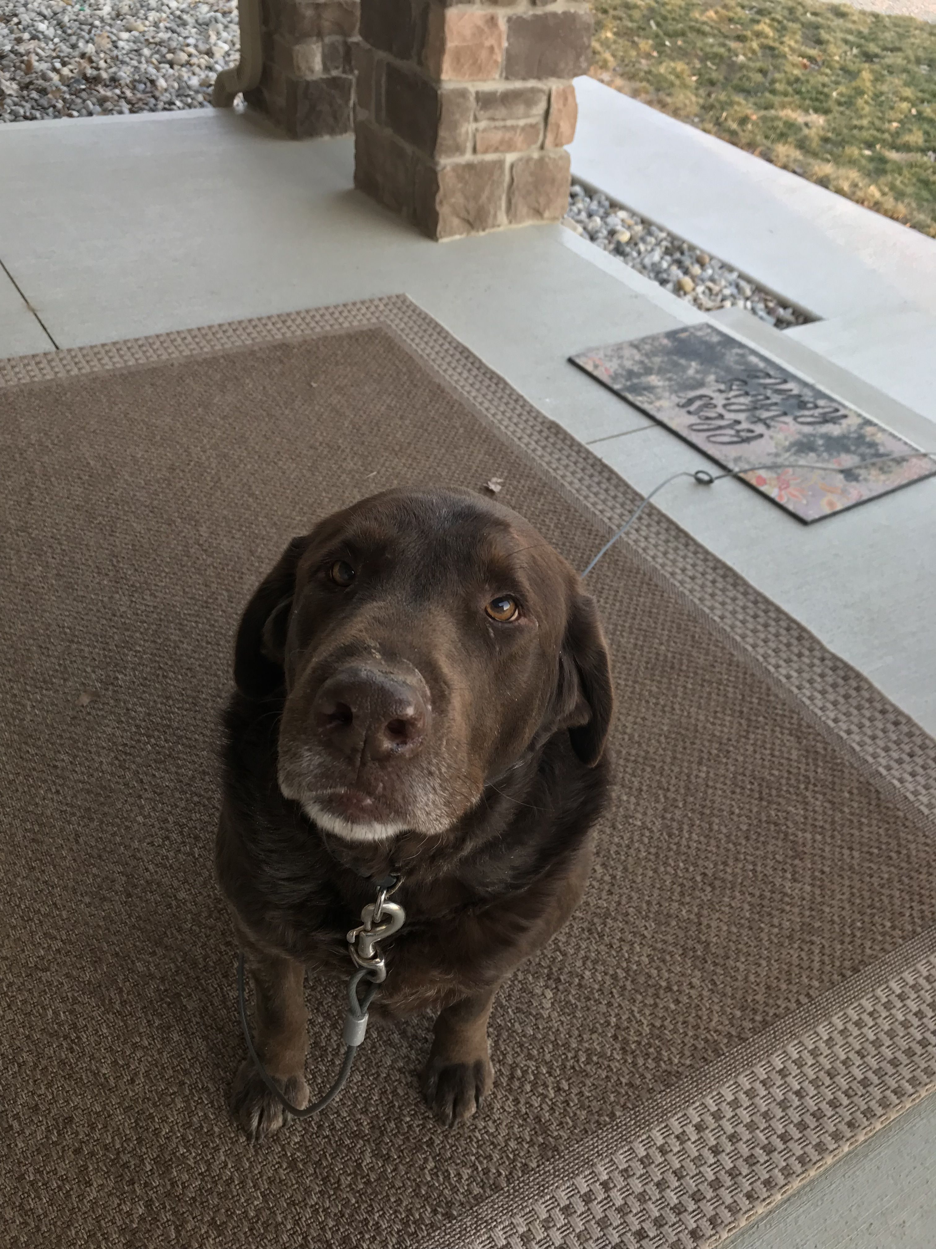 Adopt Courtesy Posting House Broke On Dog Adoption Labrador Retriever Chocolate Labrador Retriever