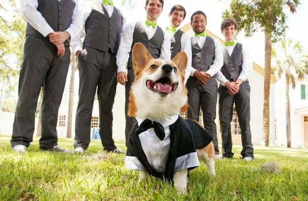 And here's a corgi infiltrating a wedding party in order to, one can only assume, save the world from a diabolical plan involving weapons a villain planted within the ceremony.   Irrefutable Proof That Corgis Are Actually Secretly Superheroes #corgi