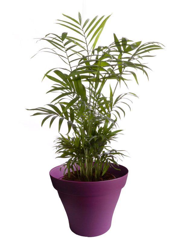 Petit chamaedorea avec cache pot violet   Plantes d\'intérieur avec ...