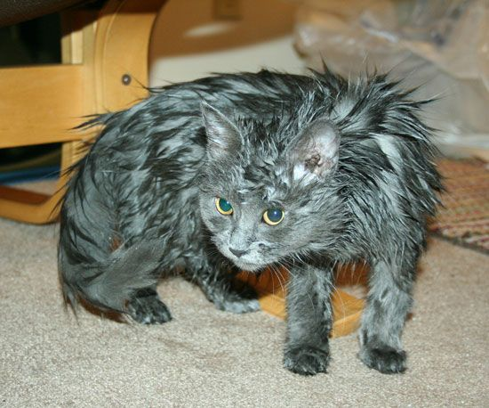 22 Hilarious Pictures Of Wet Cats With Images Crazy Cats