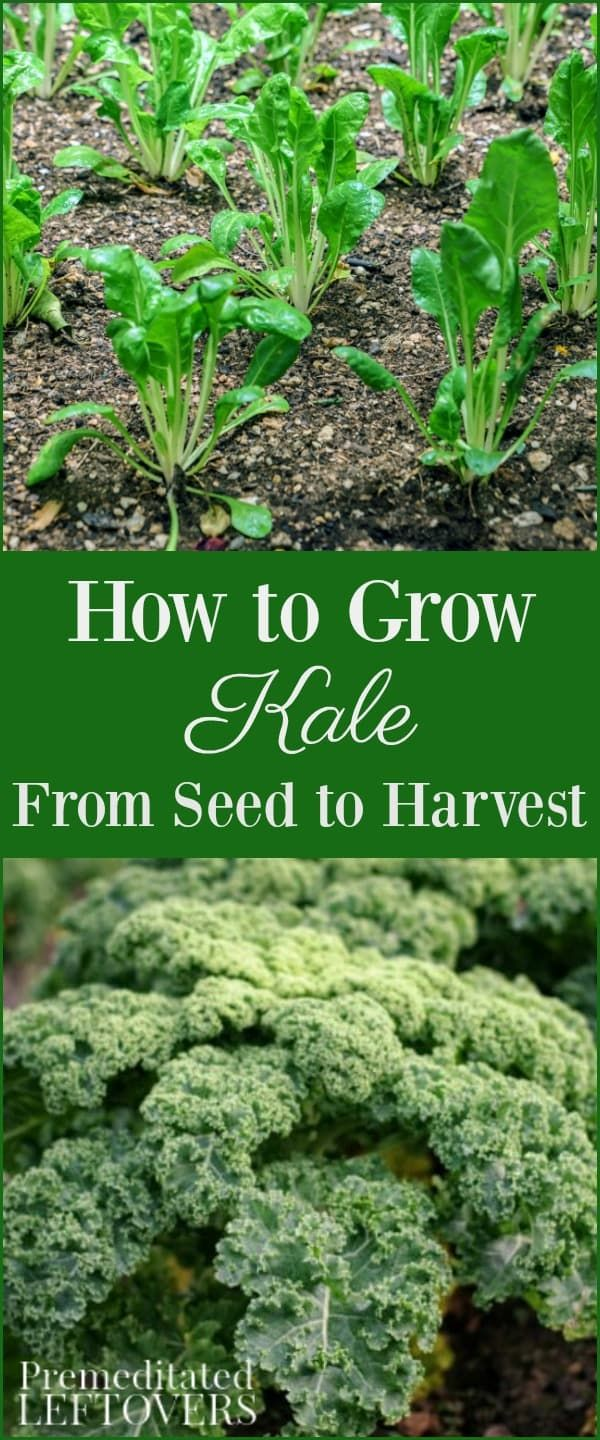 Tips For Growing Kale In Your Garden Including How To Grow Kale