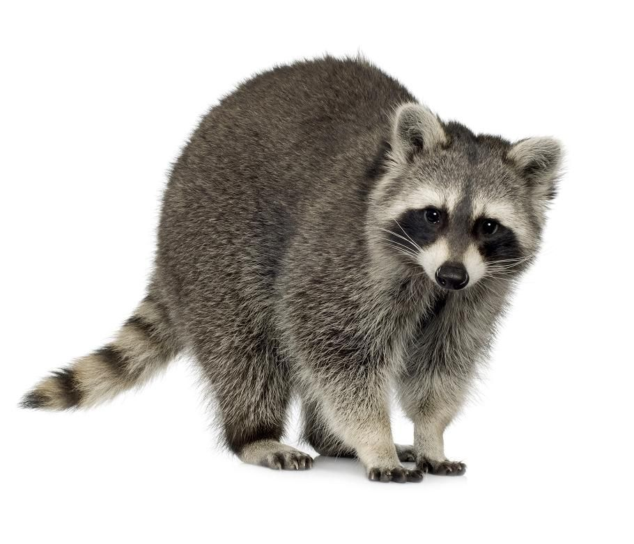 Most common nuisance animal found in crawl spaces.