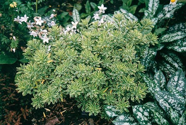 Google Image Result for http://www.gardensandplants.com/images/plants/Daphne%2520x%2520burkwoodii%2520Carol%2520Mackie.jpg