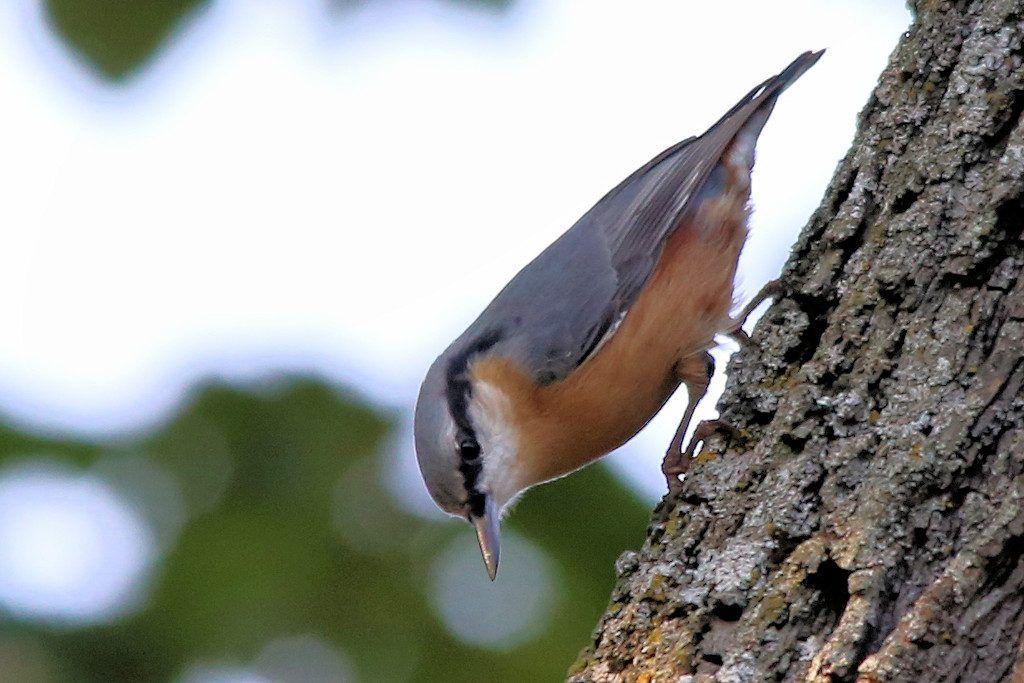 Kleiber. Der Kleiber ist in Europa, Nordwest-Afrika und Teilen von Asien verbreitet. Sein Lebensraum sind Laubmischwälder, Parks und Gärten.  Seine Nahrung besteht aus Insekten, Larven, Samen, Beeren und Nüssen. Er gehört zu den Arten, die Futtervorräte anlegen.