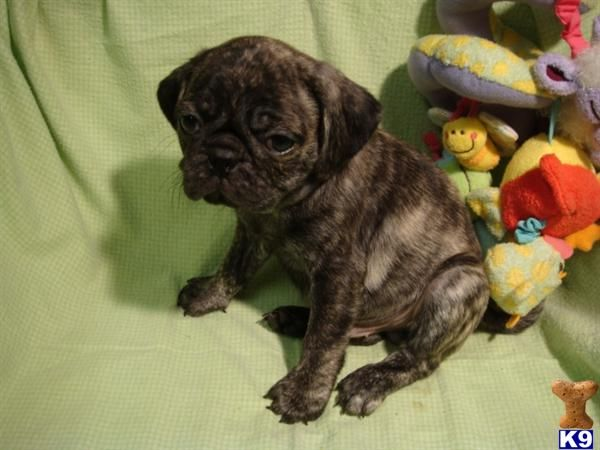 Rare Color Pug Puppies For Sale A Pug Pup For Sale Located In