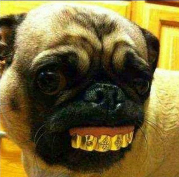 Pug Dog Has Gold Teeth Wow Pugs Funny Cute Pugs Pugs