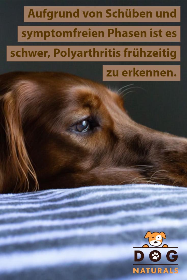 autoimmun polyarthritis hund)
