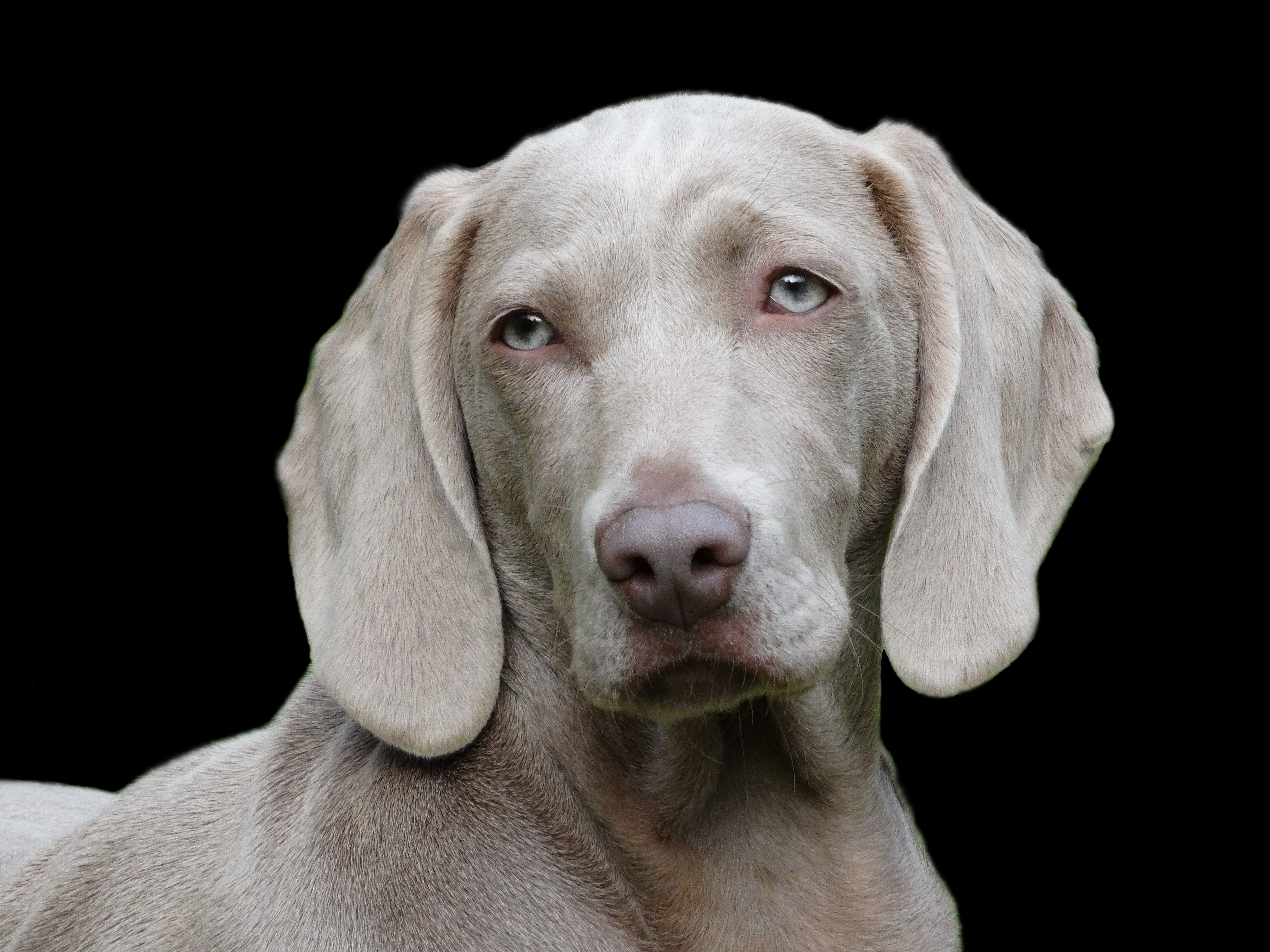 Pin By Frances Frek On Nature S Wisdom In 2020 Weimaraner Dogs Dogs Dog Pet Store