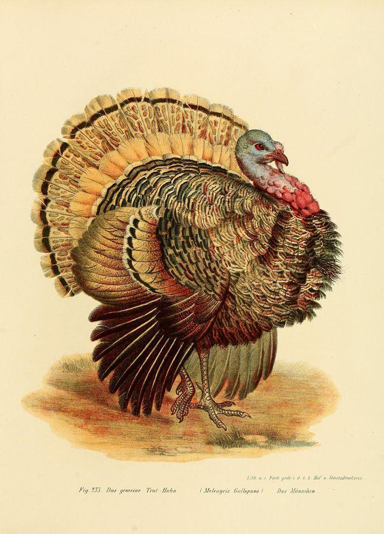 Leopold Fitzinger, Gemeiner Truthahn / Common Turkey, Bilderatlas ...