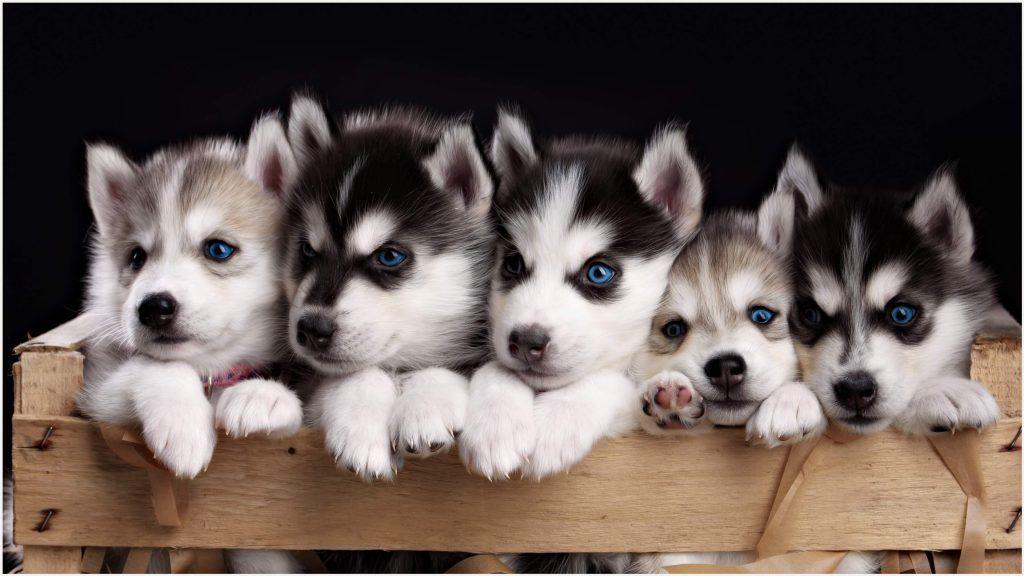 Cute Husky Puppies Uhd Wallpaper Cute Husky Puppies Uhd