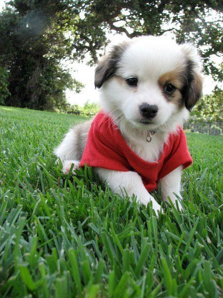 Auss Tzu Miniature Australian Shepherd And Shih Tzu Mix