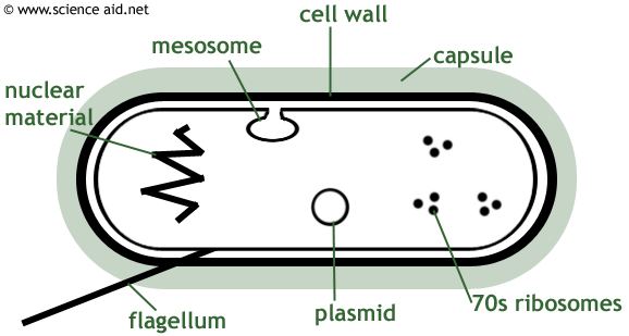 diagram of a bacterium including mesosome plasmid cell on cell wall function id=85695
