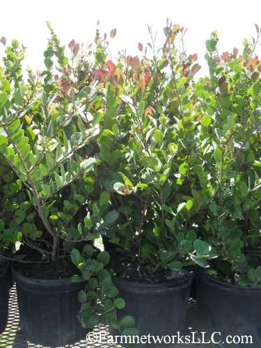 Red Tip Cocoplum Hedge South Florida Nursery Plants Miami Beach Hedges Homestead Growers