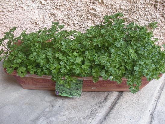 faire pousser du persils sur son balcon jardinage. Black Bedroom Furniture Sets. Home Design Ideas