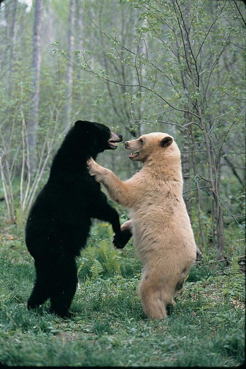 Bear Us Animal Captions Kermode Bear Funny Animal Pictures