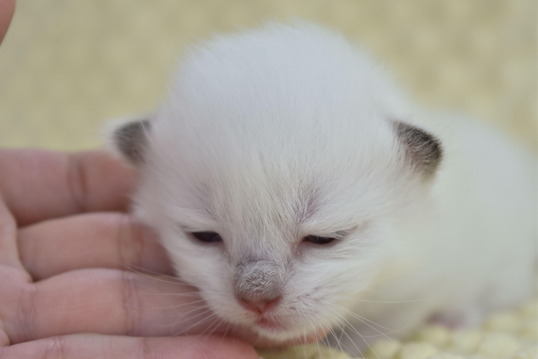 Ragdoll Kittens For Sale In Texas Jamila S Ragdolls Catsdiybed Ragdoll Kittens For Sale Ragdoll Kitten Ragdoll Cats For Sale