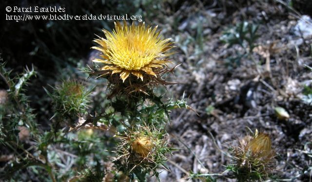 Carlina corymbosa L. subsp. hispanica (Lam.) O.Bolòs & Vigo