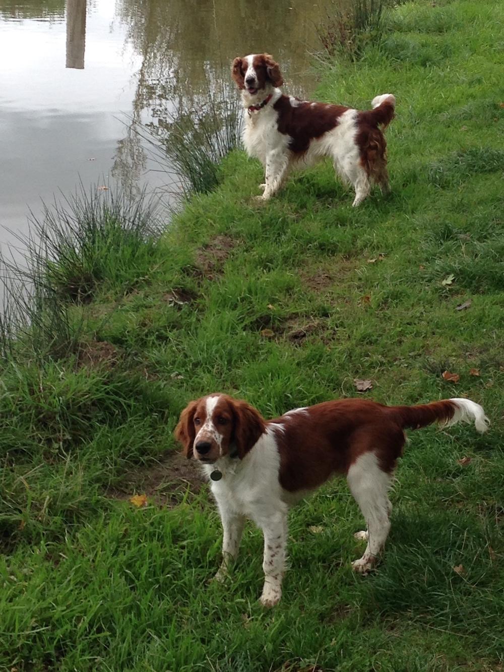 Welsh Springer Spaniel An Owner Interview In 2020 Welsh Springer Spaniel Springer Spaniel British Dog Breeds