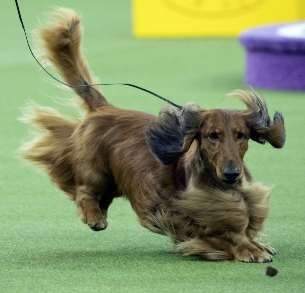 Westminster Dog Show 2018 Westminster Dog Show Dog Show Dogs