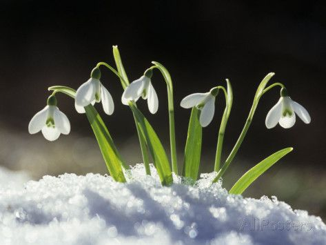 Snowdrop Flowers Blooming In The Snow Galanthus Nivalis Photographic Print David Cavagnaro Allposters Com Snowdrop Plant Flowers Plants