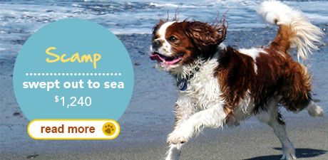 Top 5 Craziest Summer Pet Insurance Claims Scamp The Cavalier