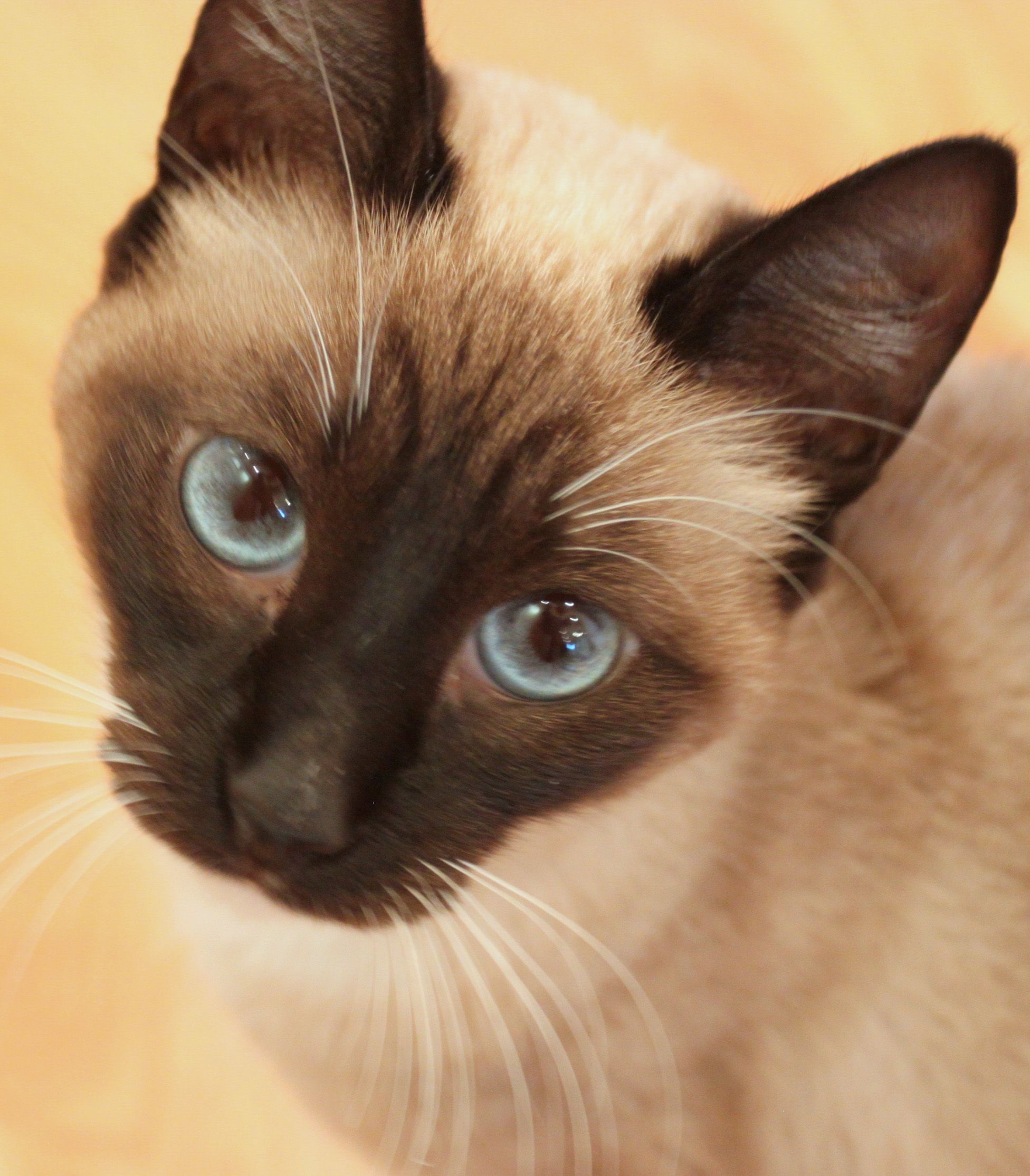 Available Cats Purebred Cats Cat Rescue Cats